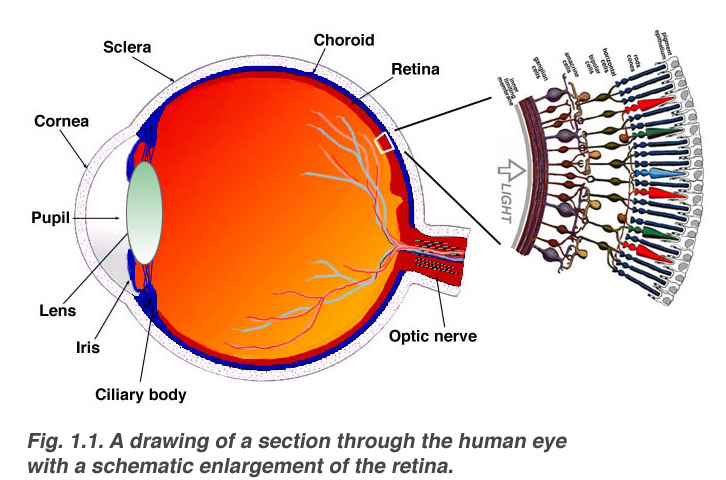 Anatomy Of The Eye Specialising In Cataract Macular Diseases And